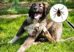hond-teek