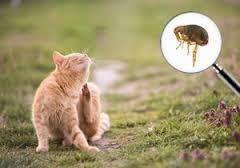 ontvlooien-kat
