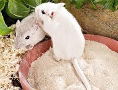 gerbils-eten