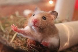 hamster-spelen