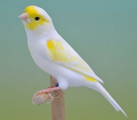 kanarie-geel-wit