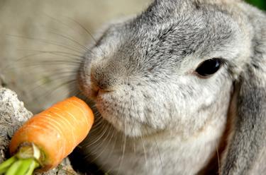 konijn-wortel
