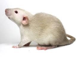 tamme-rat