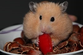 voeding-hamster