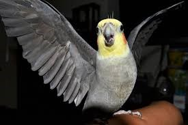 valkparkiet-vleugels