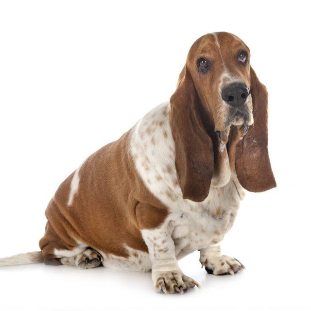 Is mijn hond te dik?