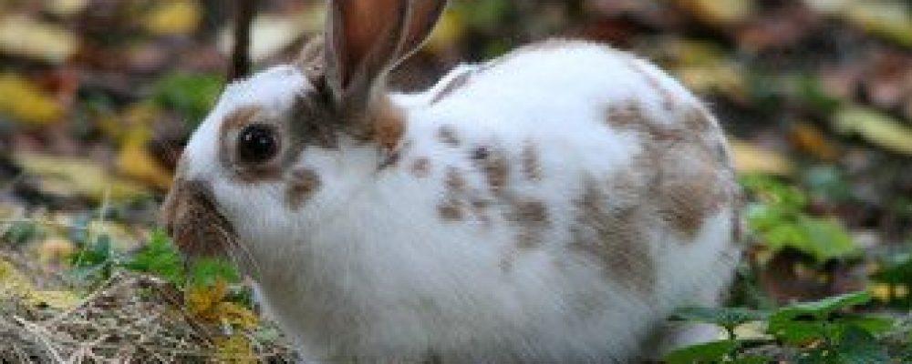 Kan mijn konijn vlooien krijgen?