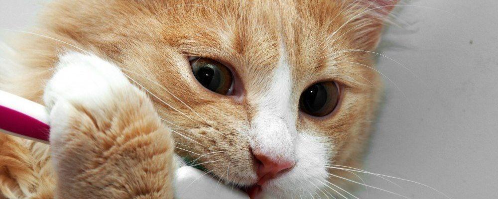 Gebitsproblemen bij katten