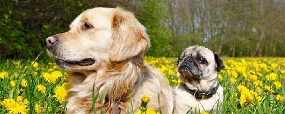 Honden en hooikoorts