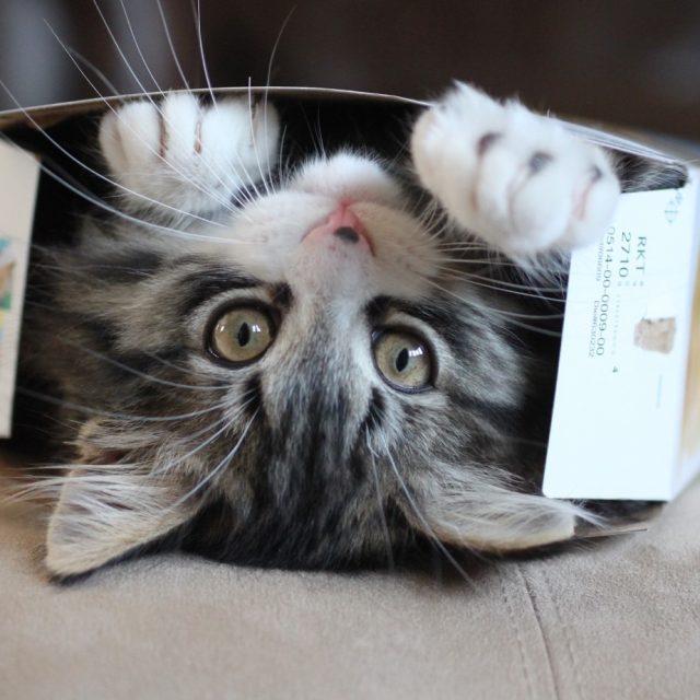 De reden dat katten zo van kartonnen dozen houden