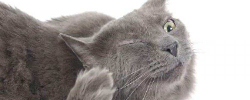 Vlooienbehandeling: Een kat is GEEN kleine hond!