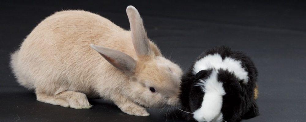 Waarom je konijnen en cavia's beter niet kunt samenhouden