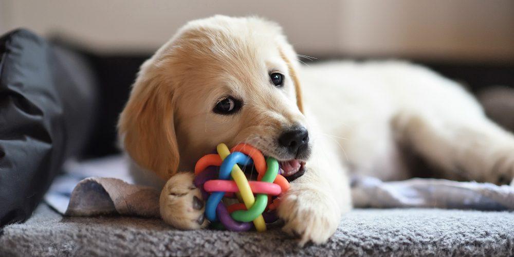 Waarom kauwen pups op alles?