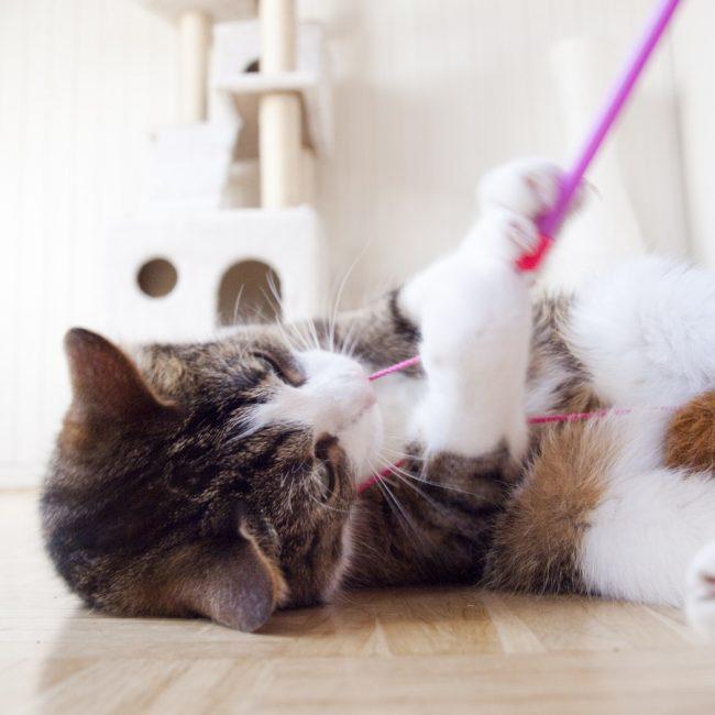 Alle katten zijn aan het spelen te krijgen!