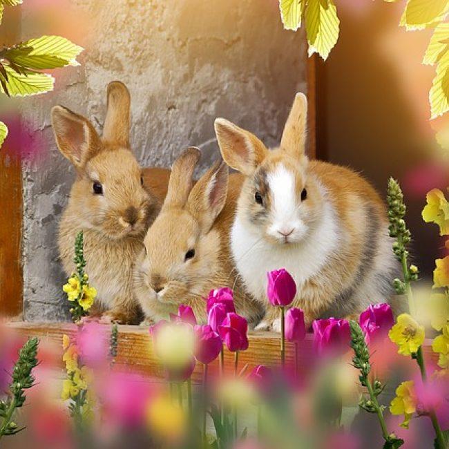 Moet een konijn echt een maatje hebben?
