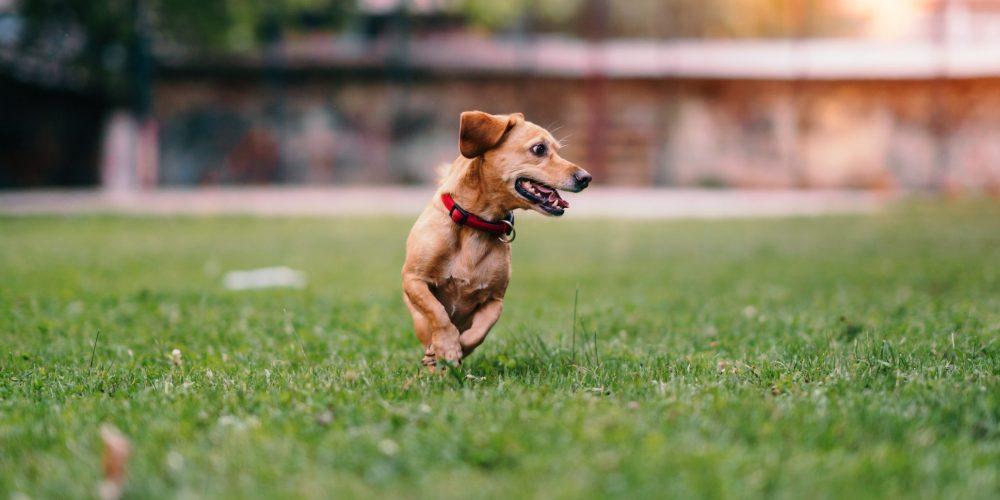 Hooikoorts bij honden