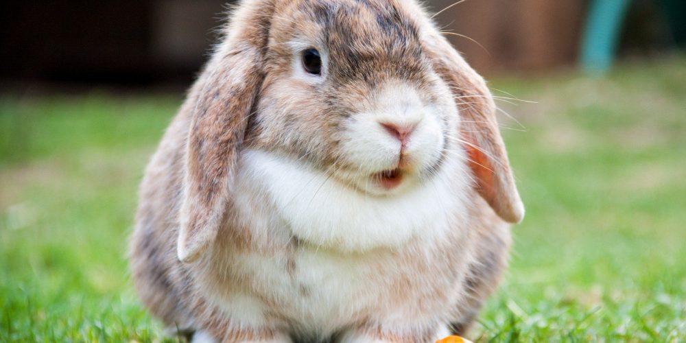 Moet je de tanden van je konijn poetsen?