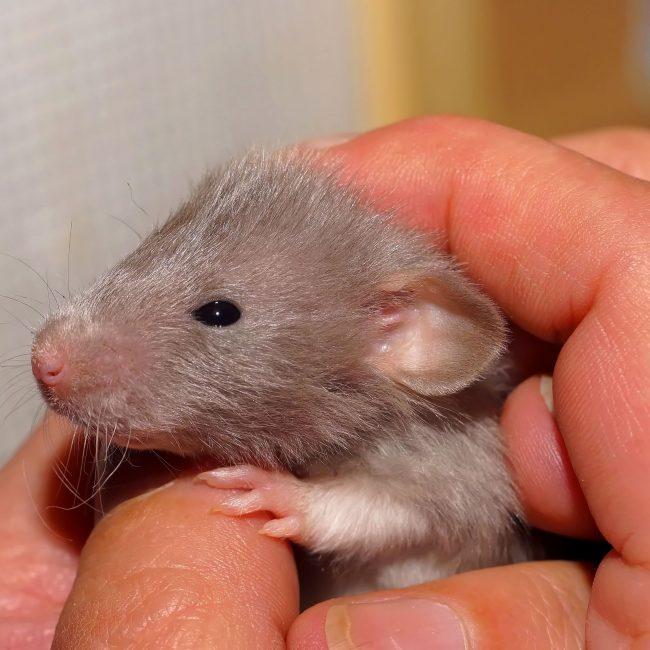 Wat een schatjes die tamme ratjes