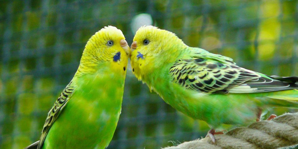 Waar moet je op letten bij de aanschaf van een jonge vogel?