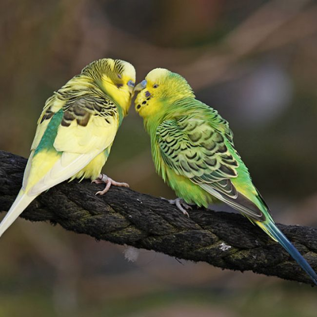 """""""Gebitsverzorging"""" bij vogels"""