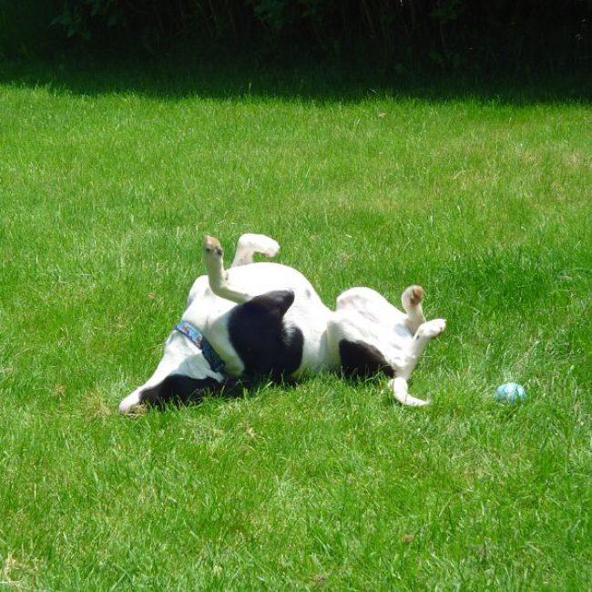 Waarom rolt mijn hond door de viezigheid?