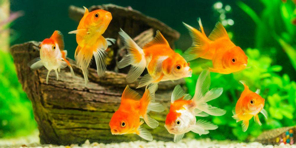 Wie kent hem niet… de goudvis