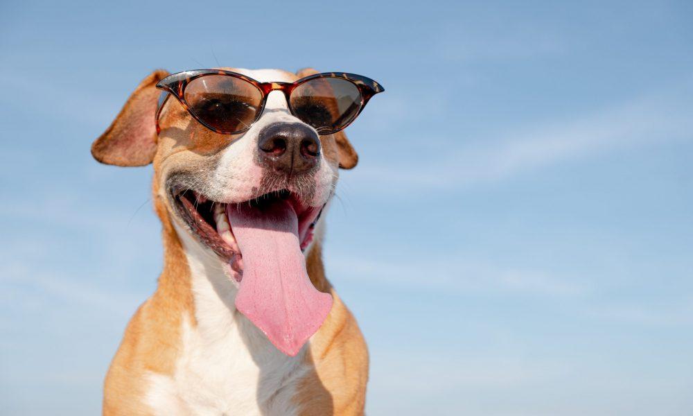 Hoe houdt je hond zijn hoofd koel??